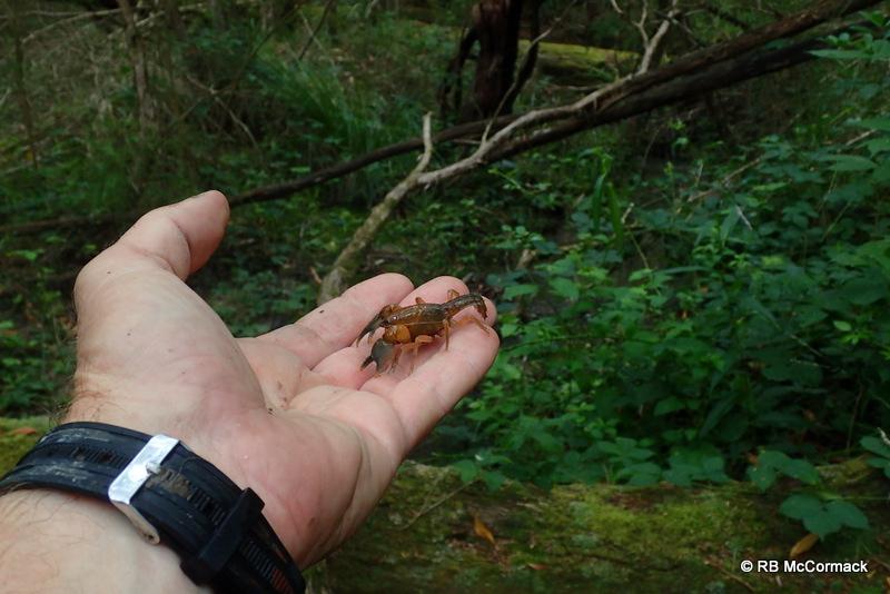 Engaeus affinis, Healesville, Vic