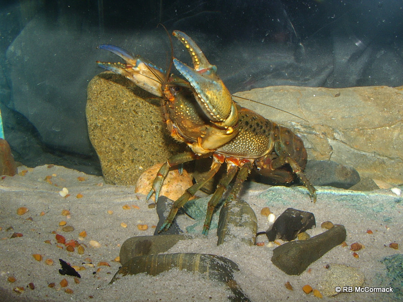 The Cudgegong Giant Spiny Crayfish, Euastacus vesper