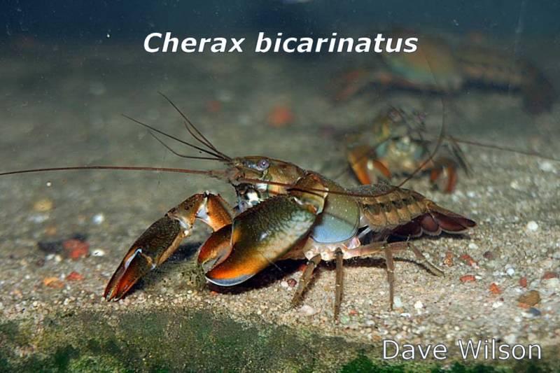 c_bicarinatus_03a-2