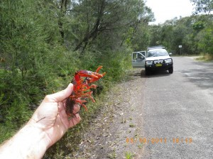 Euastacus australasiensis