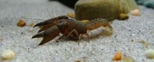 Tenuibranchiurus glypticus