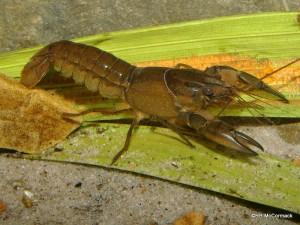 Cherax rhynchotus