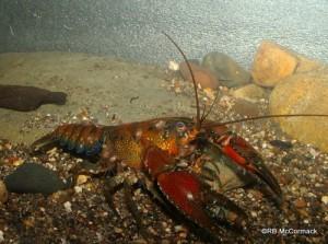 The Bidhawal Crayfish Euastacus bidawalus