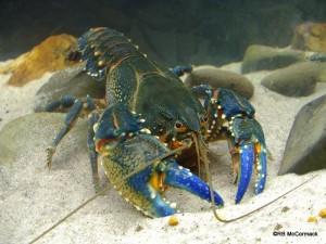 The Alpine Crayfish Euastacus crassus
