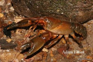 Monteith's Crayfish Euastacus monteithorum