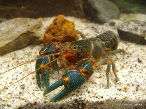 The Hairy Crayfish Euastacus reductus