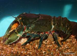 The Glenelg River Crayfish Euastacus bispinosus