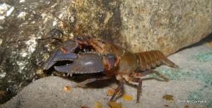 The Eungella Spiny Crayfish Euastacus eungella