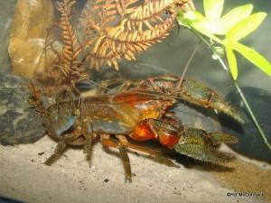 The Jagara Hairy Crayfish Euastacus jagara