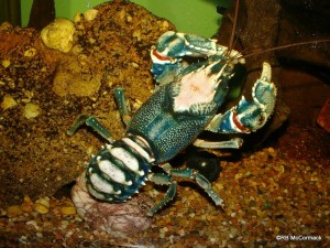 The Lamington Crayfish Euastacus sulcatus