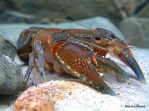 Morgan's Crayfish Euastacus morgani