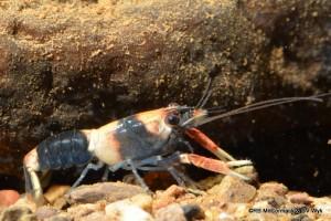 Juvenile Euastacus hystricosus