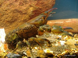 The Fitzroy Falls Crayfish Euastacus dharawalus