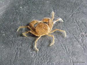 False spider crabs Amarinus lacustris from Cockrone Gul, Macmasters Beach, NSW