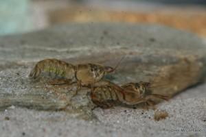 Western swamp crayfish Gramastacus insolitus, from the Grampian area, Victoria