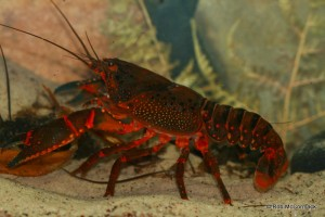 The Giant Spiny Crayfish Euastacus spinifer from Jamison Creek