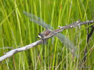 The Giant Dragonfly Petalura gigantea