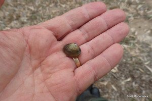 Australian Basket Shell Mussel
