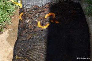 Cherax albidus in a holding net