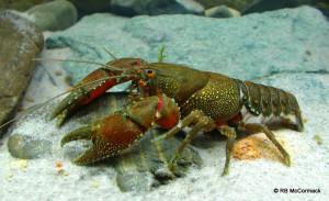 Bonang River crayfish from the most northern range