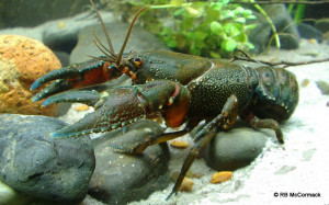 The Bonang River crayfish from the most northern extent of distribution