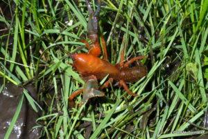 Engaeus affinis, Badger Creek, Vic
