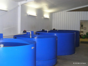 Some of the grow out tanks